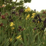 """An invitation to view the bulbs in the """"Field of Dreams"""" 17"""